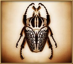 Hold a live Goliath Beetle.