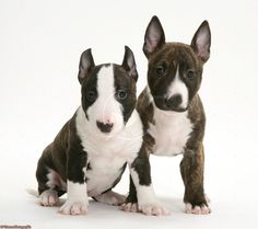 Brindle-and-white miniature English Bull Terrier pups, 6 weeks old.