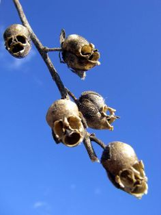 The Dragon's Skull by kuirositas: The snapdragon (Antirrhinum), a popular flowering plant, is named for the resemblance of its blossom to a dragon's head. The seed pod is more macabre and resembles a skull. #Snapdragon