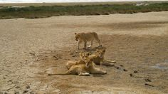 Sometimes it can be very warm at Tarangire NP; the lions stay close to the water then