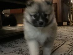 Bailey is quite the cutie. I think we may be keeping this sweetie. Spitz Breeds, Dogs, Animals, Animales, Animaux, Pet Dogs, Doggies, Animal, Animais