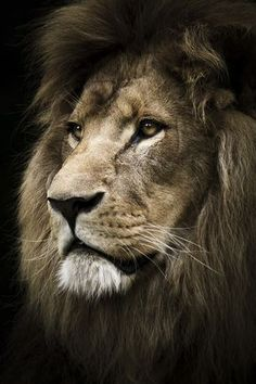Lion beautiful cats, animals beautiful, most beautiful pictures, animals and pets, cute Lion Images, Lion Pictures, Lion And Lioness, Lion Of Judah, Lion Wallpaper, Animal Wallpaper, Beautiful Cats, Animals Beautiful, Beautiful Pictures