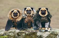 Real cuteness: The game of pugs