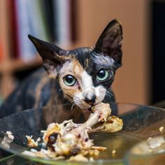 """""""You finished?...I'll just clean the dish for you..."""" http://amyshojai.com/10-people-foods-for-cats/"""