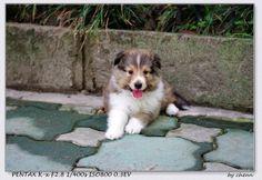 5 weeks old sheltie puppy