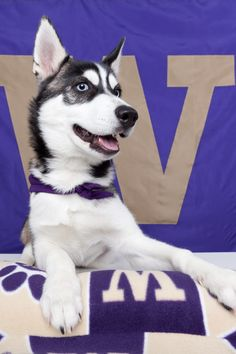 Husky pup grown up! #youW Photo by Jeffrey Sitthi