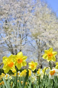 Five Reasons You Should Fall In Love With Daffodil Flower Needs - Ostern Pansies, Daffodils, Tulips, Spring Sign, Spring Day, Spring Nature, Daffodil Flower, Cactus Flower, Spring Pictures