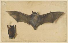 A bat with outstretched wings, and another with wings folded by Albrecht Durer, 15-16th century