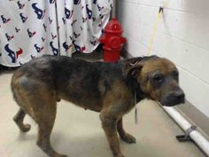 04/13/16--HOUSTON- -EXTREMELY HIGH KILL FACILITY - This DOG - ID#A456777 I am a male, black and brown German Shepherd Dog. My age is unknown. I have been at the shelter since Apr 13, 2016. This information was refreshed 4 minutes ago and may not represent all of the animals at the Harris County Public Health and Environmental Services.