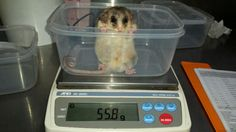 Mountain Pygmy-Possum's are weighed regularly. This little fellow relishes in the opportunity to pose for the camera.