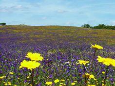 Cercal do Alentejo, Flowers http://portugaldreamcoast.com/pt/alcacer-do-sal-gallery-of-photos/