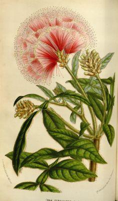 Albizia ferruginea - circa 1853
