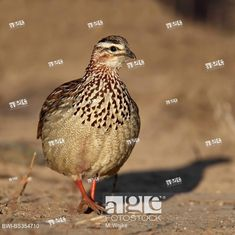 Crested francolin (Francolinus sephaena), stands on the ground, South Africa Kruger National Park, National Parks, South African Birds, Stock Pictures, Stock Photos, Photo Library, Image