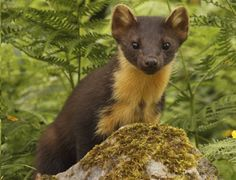 The elusive animal keeping red squirrels alive, here's a few facts about the pine marten http://www.countryfile.com/explore-countryside/wildlife/8-facts-you-probably-didnt-know-about-pine-martens
