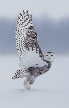 Owl in flight ✿⊱╮