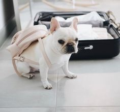 """""""My treats are packed I'm ready for my Summer trip."""", Theo, the French Bulldog, @theobonaparte on instagram"""