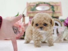 Available Toy Poodle Puppies For Sale - Charming Teacup Poodle PuppiessYou can find Teacup puppies and more on our website.Available Toy Poodle Puppies For. Teacup Puppy Breeds, Teacup Poodle Puppies, Poodle Puppies For Sale, Tea Cup Poodle, Aussie Puppies, Tiny Puppies, Dogs For Sale, Teacup Dogs, Pomeranian Puppy