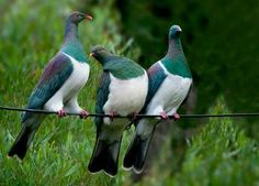 Kereru - Wood pigeon, New Zealand New Zealand Tours, New Zealand Art, Nature Animals, Animals And Pets, Cute Animals, Beautiful Birds, Animals Beautiful, New Zealand Mountains, Wood Pigeon