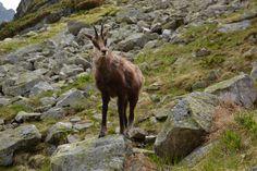 Chamois in High Tatras - Slovakia