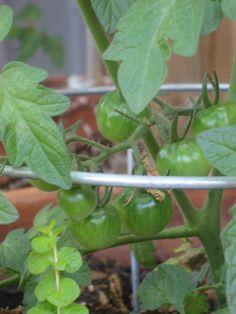 Huerto en casa: Como cultivar y plantar tomates | En mi cocina hoy