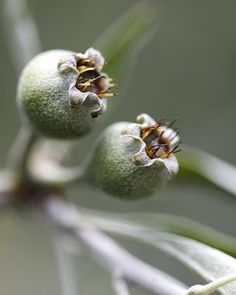 A close-up of the hard green fruit sprouting from the Willowleaf Pear Shades Of Green, Green And Grey, Green Fruit, Soft Autumn, Autumn Leaves, Seed Pods, Autumn Garden, Planting Seeds, Herb Garden