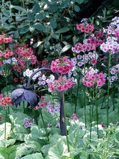 Japanese Primrose  Japanese primrose is a charming spring-blooming perennial that offers 18-inch-tall clusters of pink, white, magenta or red blooms on long flower stalks. It does best in cool-summer areas.  Name: Primula japonica  Zones: 2-8