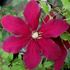 Clematis Niobe close up Flowers June to September