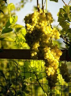 Italian white wines- worth tasting 7 different varieties to try for spring Italian White Wine, Caves, Grapes And Cheese, Wine Vineyards, Buy Wine Online, Champagne, Wine Cheese, In Vino Veritas, Wine Time