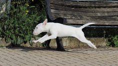 #Bull #Terrier in motion