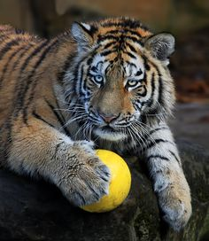 Come on, get the ball! Amur tiger.