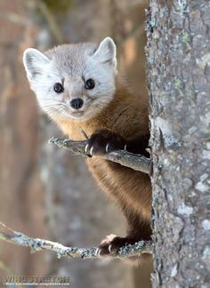 A Pine Marten.  (Photo By: © Marc Latremouille, wingstretch.com )