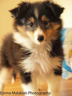 Tri Sheltie pup - what a cute little guy! :) ~ ADORABLE ~