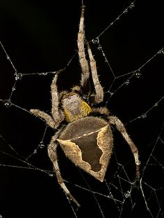 I like spider's Common Garden Spider (Parawixia dehaani) How much water does a lawn really need? Pet Spider, Spider Webs, Garden Spider, Beautiful Bugs, Mundo Animal, Types Of Soil, Body Art Tattoos, Things To Come, Animals