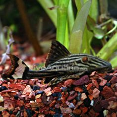 Tropical Fish for Freshwater Aquariums: Gold Royal Pleco (L-027) my newest baby!!!!