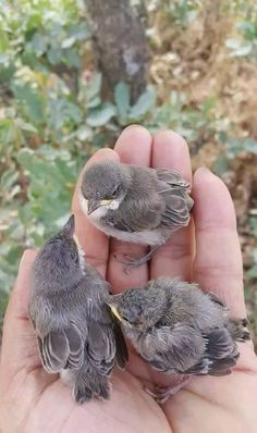 Chicks fallen out of the nest.  Old enough to sirvive when the founder feet them by hand or taken to a bird care.
