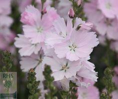 Buy prairie mallow Sidalcea 'Elsie Heugh': Delivery by Crocus