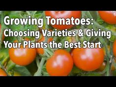 Our Growing Tomatoes Guide covers everything from planting through harvesting! Tomatoes are not hard to grow and we'll show you how to grow tomatoes successfully with tips on transplanting, tomato stakes and cages, the best varieties, and more.