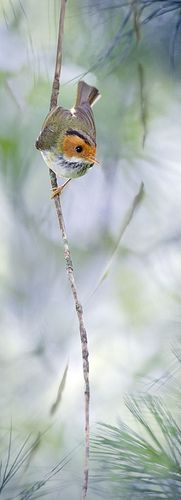 Fulvous-faced Flycatcher