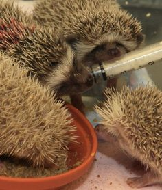 Just a bunch of baby hedgehogs, y'all.