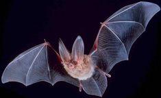 Big-eared-townsend-fledermaus - Chiroptera — Wikipédia