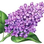 Purple, pink lilac with leaves
