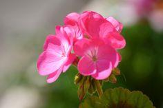 Pelargonium Top 5 Annual Flowers