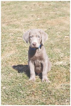 Silver lab puppy Silver Labrador Puppies, Silver Labrador Retriever, Labrador Retrievers, Cute Puppies, Cute Dogs, Dogs And Puppies, Fluffy Animals, Cute Animals, Silver Labs