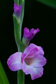 Gladiolus coming into bloom.