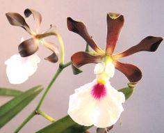 Encyclia cordigera alba (Epidendrum atropurpureum alba)