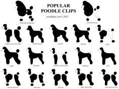 POODLE CLIPS #poodle CLIPS4