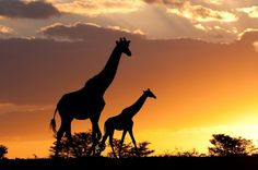Masai Mara is famous for the big cats but also for the annual wildebeests and zebra migration – an unforgettable sight, and one of the new Seven Wonders of the World Contact me for African Safari deals: zoraa@travelmanagers.com.au www.holidaysandcruises.com.au