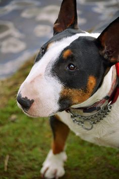 Bull Terrier - such love in this baby's eye....