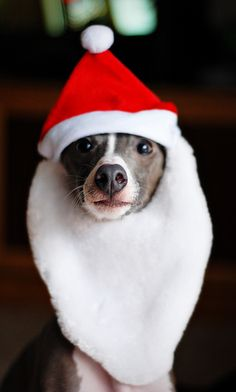 No matter how many times I tell Tallulah that polyester will suck the natural shine straight out of her fur, she simply insists on being festive. How can I even think to scold this face?