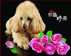 Qihu's 5d Crystal Diamond Painting DIY Counted Paint By Number Kits, Cute Lovely Pet Poodle Dog Pink Rose Flower Picture Qihu http://www.amazon.com/dp/B00MLQERE6/ref=cm_sw_r_pi_dp_bw.Iub1H7S1QZ